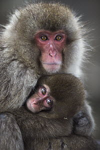Japanese Macaque (Macaca fuscata) female cuddling her baby, Jigokudani Monkey Park, Japan - Fiona Rogers