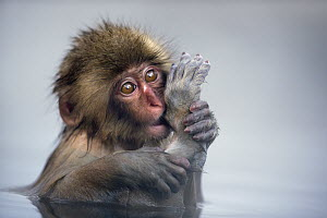 Japanese Macaque (Macaca fuscata) baby sucking its toe in a geothermal spring, Jigokudani Monkey Park, Japan  -  Fiona Rogers