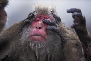 Japanese Macaque (Macaca fuscata) female being groomed, Jigokudani Monkey Park, Japan - Fiona Rogers