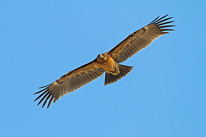 Greater Spotted Eagle (Aquila clanga) flying, Oman - Mathias Schaef