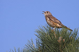 Mistle Thrush (Turdus viscivorus) calling, Germany  -  Mathias Schaef