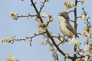Lesser Whitethroat (Sylvia curruca) calling, Germany  -  Mathias Schaef