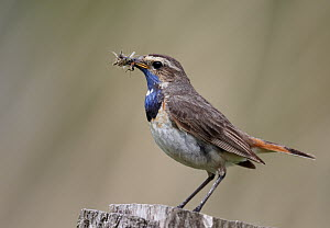 White-spotted Bluethroat (Luscinia svecica cyanecula) male with insect prey, Germany  -  Chris Romeiks