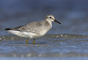 Red Knot (Calidris canutus) in water, Germany - Chris Romeiks