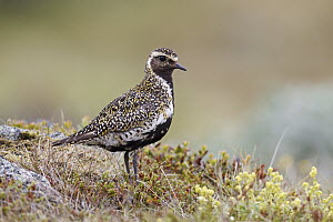 Golden Plover (Pluvialis apricaria) in breeding plumage, Iceland  -  Christine Jung