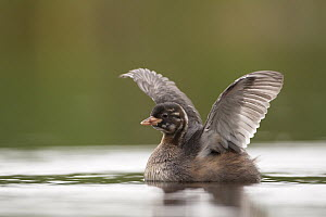 Little Grebe (Tachybaptus ruficollis) juvenile stretching wings, Germany  -  Oliver Richter