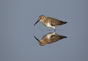Dunlin (Calidris alpina) in water, Germany - Chris Romeiks