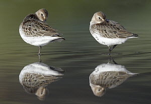 Dunlin (Calidris alpina) pair preening in water, Germany - Chris Romeiks