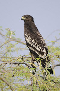 Greater Spotted Eagle (Aquila clanga) sub-adult, India  -  Peter Waechtershaeuser