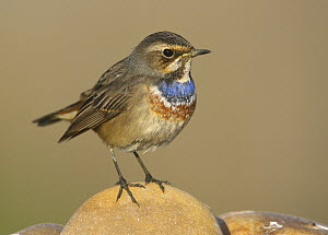 White-spotted Bluethroat (Luscinia svecica cyanecula) male, Portugal  -  Pedro Marques