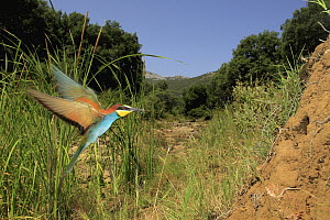 European Bee-eater (Merops apiaster) male flying with bee prey, Spain  -  Andres M. Dominguez