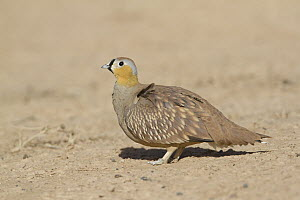 Crowned Sandgrouse (Pterocles coronatus) male, Morocco  -  Rosl Roessner