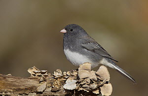 Dark-eyed Junco (Junco hyemalis), Ohio  -  Robert Royse
