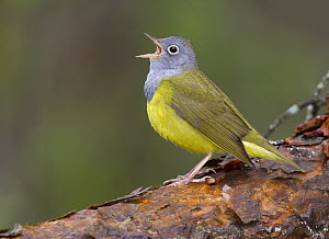 Connecticut Warbler (Oporornis agilis) male calling, Manitoba, Canada  -  Robert Royse