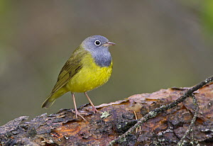 Connecticut Warbler (Oporornis agilis) male, Manitoba, Canada  -  Robert Royse