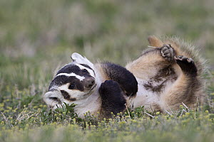 American Badger (Taxidea taxus) rolling on its back, Montana  -  Donald M. Jones