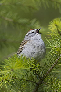 Chipping Sparrow (Spizella passerina) singing atop a Douglas-fir (Pseudotsuga menziesii) tree, Montana  -  Donald M. Jones