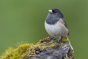 Dark-eyed Junco (Junco hyemalis) male, Montana  -  Donald M. Jones