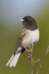 Dark-eyed Junco (Junco hyemalis), Montana  -  Donald M. Jones