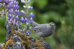 Gray Catbird (Dumetella carolinensis), Montana - Donald M. Jones