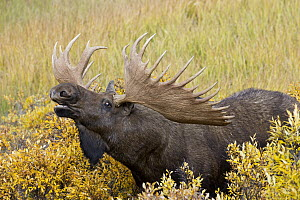 Moose (Alces alces) bull lip-curling, Denali National Park, Alaska - Donald M. Jones