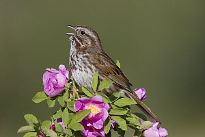Song Sparrow (Melospiza melodia) male singing, Montana  -  Donald M. Jones
