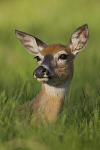 White-tailed Deer (Odocoileus virginianus) doe portrait, Montana - Donald M. Jones