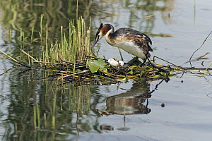 Great Crested Grebe (Podiceps cristatus) female on nest with eggs, Germany  -  Duncan Usher