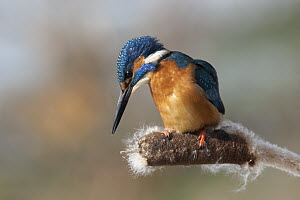 Common Kingfisher (Alcedo atthis) on cattail, Germany - Duncan Usher