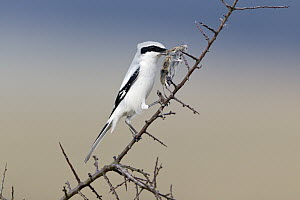 Great Grey Shrike (Lanius excubitor) piercing mouse prey on thorn, Germany. Sequence 1 of 2  -  Duncan Usher
