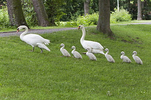 Mute Swan (Cygnus olor) parents leading cygnets to lake through a park, Germany  -  Duncan Usher