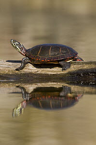 Painted Turtle (Chrysemys picta) sunning on a log, North America - Steve Gettle