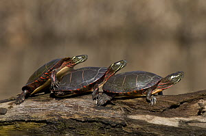 Painted Turtle (Chrysemys picta) trio sunning on log, North America  -  Steve Gettle