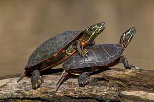 Painted Turtle (Chrysemys picta) pair sunning on log, North America - Steve Gettle