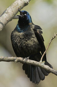 Common Grackle (Quiscalus quiscula) calling, Crane Creek State Park, Ohio - Steve Gettle