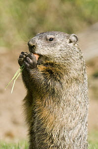 Groundhog (Marmota monax) feeding, Howell Nature Center, Michigan  -  Steve Gettle