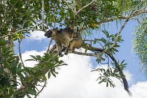 Lumholtz's Tree-Kangaroo, (Dendrolagus lumholtzi) male using tail as counterbalance, in Queensland Silver Ash (Flindersia bourjatiana), Atherton Tableland, Queensland, Australia  -  D. Parer & E. Parer-Cook