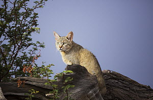African Wild Cat (Felis lybica), South Africa, Kgalagadi Transfrontier Park, South Africa  -  Richard Du Toit