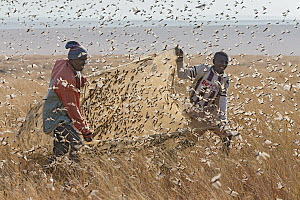 Migratory Locust (Locusta migratoria) swarm being harvested for food by two men using a sheet, Isalo National Park, Madagascar  -  Ingo Arndt