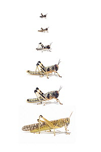 Desert Locust (Schistocerca gregaria) life stages from larva through stages L1 to L5, Africa  -  Ingo Arndt