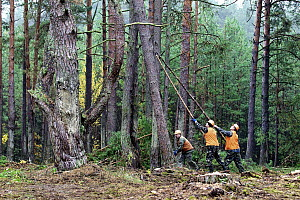 Scotch Pine (Pinus sylvestris) trees being harvested to thin forest and reduce risk of the spread of radioactive particles in case of a forest fire, Chernobyl Exclusion Zone, Ukraine - James Christensen
