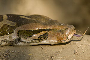 Asian Rock Python (Python molurus) flicking tongue, Keoladeo National Park, Barathpur, India - Winfried Wisniewski