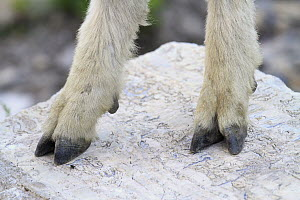 Mountain Goat (Oreamnos americanus) cloven hooves showing dewclaw used for climbing, Glacier National Park, Montana - Sumio Harada