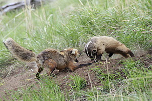 Red Fox (Vulpes vulpes) fighting with an intruding American Badger (Taxidea taxus) at entrance to burrow, Yellowstone National Park, Montana. Sequence 2 of 3, Yellowstone National Park, Montana  -  Sumio Harada