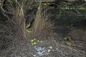 Western Bowerbird (Chlamydera guttata) male displaying with green fruit to female at entrance to bower, Alice Springs, Northern Territory, Australia  -  D. Parer & E. Parer-Cook