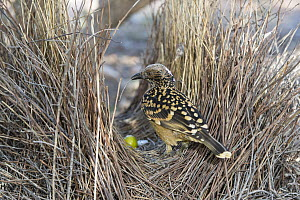 Western Bowerbird (Chlamydera guttata) male adding to bower structure, Alice Springs, Northern Territory, Australia  -  D. Parer & E. Parer-Cook