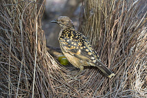 Western Bowerbird (Chlamydera guttata) male in bower, Alice Springs, Northern Territory, Australia  -  D. Parer & E. Parer-Cook