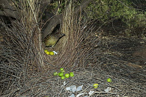 Western Bowerbird (Chlamydera guttata) male tending bower decorated with green fruit, white plastic and metal items, Alice Springs, Northern Territory, Australia  -  D. Parer & E. Parer-Cook
