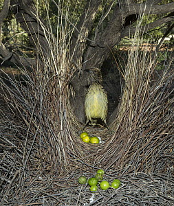 Western Bowerbird (Chlamydera guttata) male in bower decorated with green fruit, Alice Springs, Northern Territory, Australia  -  D. Parer & E. Parer-Cook