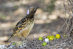 Western Bowerbird (Chlamydera guttata) male on stage of bower decorated with plastic, green fruit and metal, Alice Springs, Northern Territory, Australia  -  D. Parer & E. Parer-Cook
